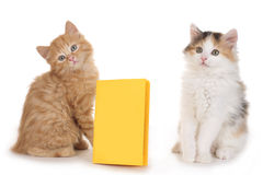 Two kitten with yellow folder Stock Images