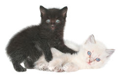 Two kittens. On a white background Royalty Free Stock Images