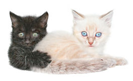Two kittens Royalty Free Stock Photo