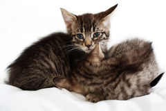 Two kittens. Two little cats. Shallow DOF Royalty Free Stock Image