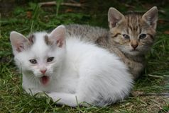 Two kittens. Two little kittens on the grass - one yawning - brown and white Stock Photo