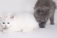 Two Kittens. Kittens black and white on a white background Stock Images