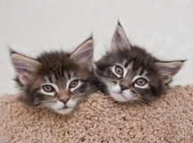 Two kittens. Two small kittens looking a camera Royalty Free Stock Photos