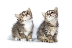 Two kittens. Kittens in studio against a white background Royalty Free Stock Photo