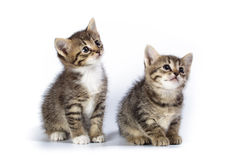 Two kittens. Kittens in studio against a white background Royalty Free Stock Photos