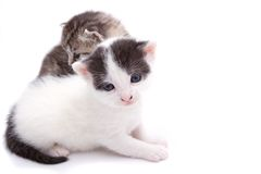 Two Kittens. Isolated portrait of two young kittens, a gray tiger/tabby and a black and white Royalty Free Stock Image