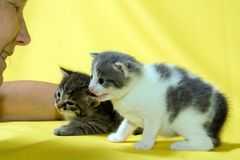 Two kittens. Two little kittens at the age of three weeks at yellow background and face of woman Royalty Free Stock Image