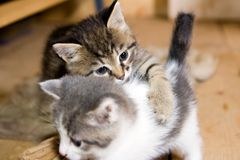Two kittens. Two little kittens at the age of three weeks are playing Stock Image