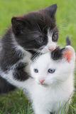 Two Kittens. Two blue-eyed small kittens Royalty Free Stock Photo