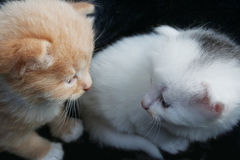 Two kittens. On a dark background, closeup Stock Photos