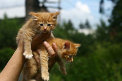 Two Kittens. Two orange color kittens in woman arms Stock Photography