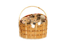 Two kittens in basket Royalty Free Stock Image