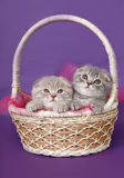 Two kittens in a basket. Royalty Free Stock Photo