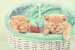 Two kittens in a basket Royalty Free Stock Photo