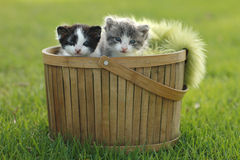 Two Kittens in Basket Outdoors Stock Image