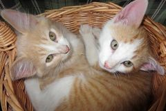 Two kittens in a basket. Two little kittens cuddled up in a basket Royalty Free Stock Photography