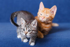 Two kittens on blue background Royalty Free Stock Image