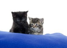 Two kittens on blue blanket Royalty Free Stock Images