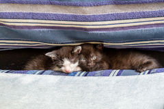 Two kittens on a blue couch royalty free stock photo