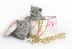 Two kittens in a box. Stock Image