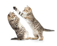 Two kittens cats boxing or playing Stock Image