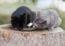 Two kittens eat fish. Royalty Free Stock Photos