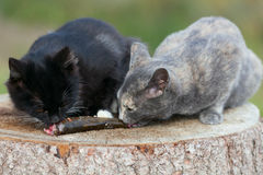 Two kittens eat fish. Stock Photography