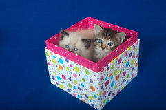Two kittens in gift box Stock Photo