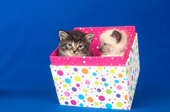Two kittens in gift box Royalty Free Stock Image
