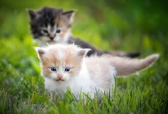 Two kittens in grass. Staring straight on Royalty Free Stock Photo