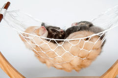 Two kittens in a hammock Royalty Free Stock Photo