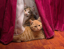 Two kittens hiding behind the curtain Royalty Free Stock Images