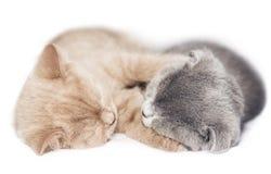 Two kittens hugging sleep. Scottish fold two kittens hugging sleep isolated on white background Royalty Free Stock Images