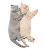 Two kittens hugging sleep. Scottish fold two kittens hugging sleep isolated on white background Stock Photo