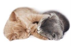 Two kittens hugging sleep. Scottish fold two kittens hugging sleep isolated on white background Royalty Free Stock Photography