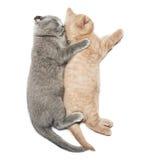 Two kittens hugging sleep. Scottish fold two kittens hugging sleep isolated on white background Royalty Free Stock Image