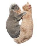 Two kittens hugging sleep. Scottish fold two kittens hugging sleep isolated on white background Royalty Free Stock Photo