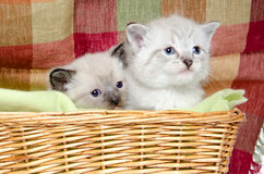 Two Kittens In A Basket Stock Photo