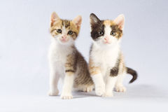 Two Kittens, Isolated Royalty Free Stock Photography