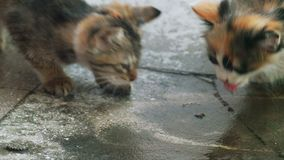 Two kittens is lapping water on concrete floor. Water drops fall down from above, feral funny kittens lap it stock video