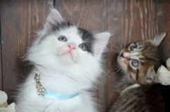 Two kittens looking. At the viewer through the camera Stock Image