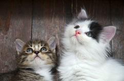 Two kittens looking. At the viewer through the camera Royalty Free Stock Photo
