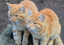 Two kittens in my backyard. Two red kittens in my backyard Stock Images