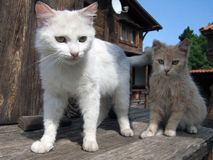 Two kittens near home. Two kittens on a wooden platform near the house Stock Image