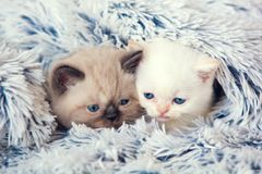 Two kittens peeking out from under the blanket Royalty Free Stock Image
