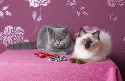 Two kittens on a pink background Royalty Free Stock Image