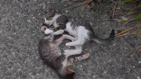 Two kittens play with tails stock video footage
