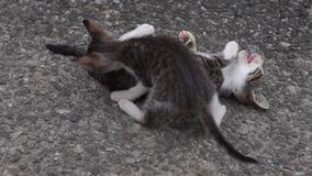 Two frisky kittens plays stock footage