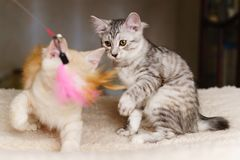 Two kittens play with toy Royalty Free Stock Image