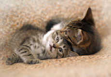 Two kittens playing Stock Photo